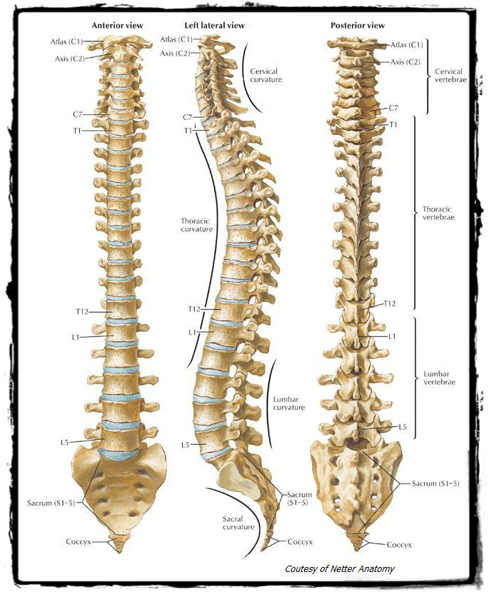 Vancouver Chiropractor Spine Image